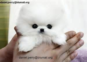teacup pomeranian rescue micro teacup pomeranian puppies for adoption quotes