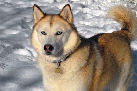 husky con occhi diversi alla ricerca siberian husky colori mantello nell