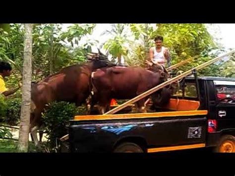 download video tutorial kawin full download azomat sapi raksasa hasil kawin silang