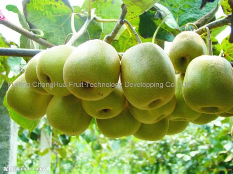 Bibit Buah Kiwi Green sweet kivi fruit products china sweet kivi fruit supplier