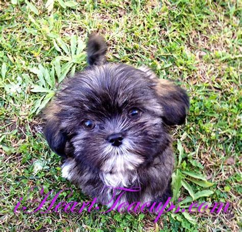 malshi puppies for sale malshi haircuts hairstyle gallery
