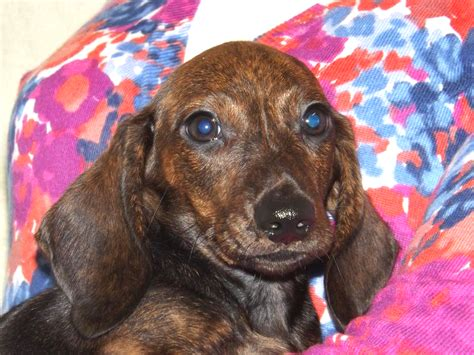 dachshund puppies for sale in tennessee akc miniature dachshund breeders dachshund puppies for sale in tn
