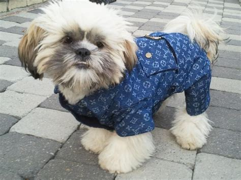 lhasa apso and shih tzu difference shih tzu chien chrysanth 232 me les avis et les photos des internautes choisir