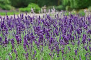 lavender flower wallpaper flower dreams