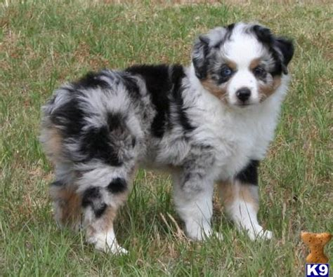 australian shepherd puppies for sale near me german shepherd puppies near me