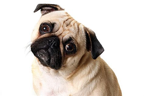 confused pug dogs blamed for thousands of family feuds confused