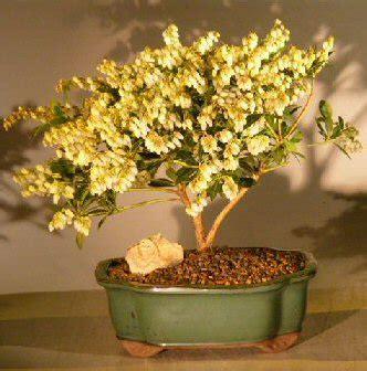 flowering andromeda bonsai tree largepieris japonica