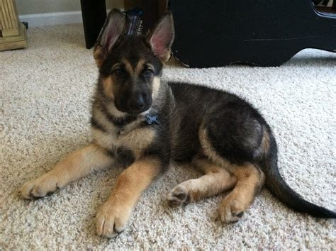 king shepherd puppies king shepherd puppy rotties dobes shepherds labs and other frien