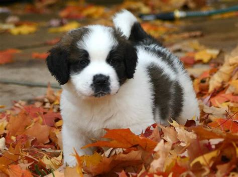 st bernard puppies indiana 7 of the most adorable dogs