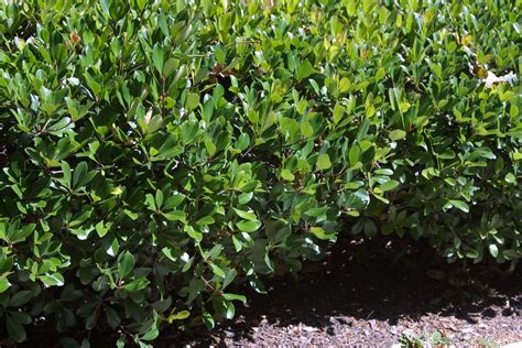 Bushes For Landscaping Solutions Pet Urine On Grass And Friendly Shrubs Growth As Nature Intended