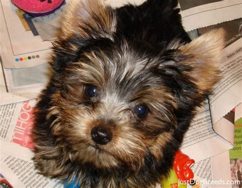 large yorkie breed silver and gold terrier breeds picture