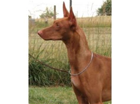 pharaoh hound puppies for sale pharaoh hound puppies for sale