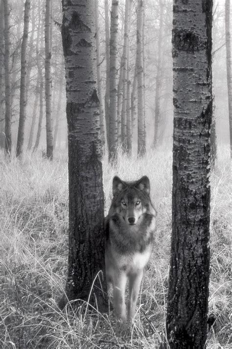 wolf wallpaper  iphone wallpapersafari