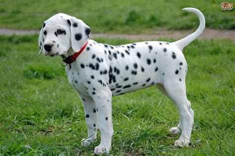 puppy dalmatian dalmatian breed information buying advice photos and facts pets4homes