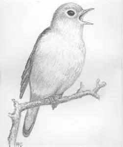 pencil drawing of nightingale bird original art pencil