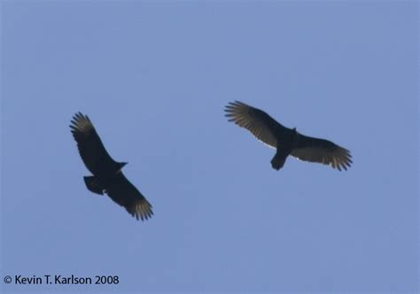 black vulture vs turkey vulture bird s spotted