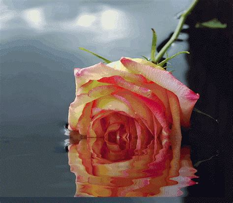 gif format to word document rose with hearts gif s flowers rosen fiori rose flower