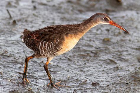 best 28 carolina coastal birds celebrating coastal