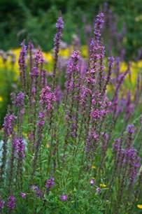tall purple perennial urban butterfly garden