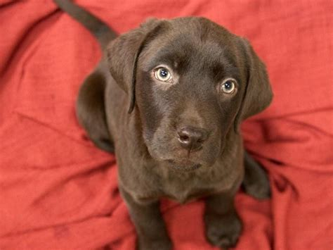chocolate lab puppies for adoption balto is a 2 month chocolate lab puppy is available for adoption at our