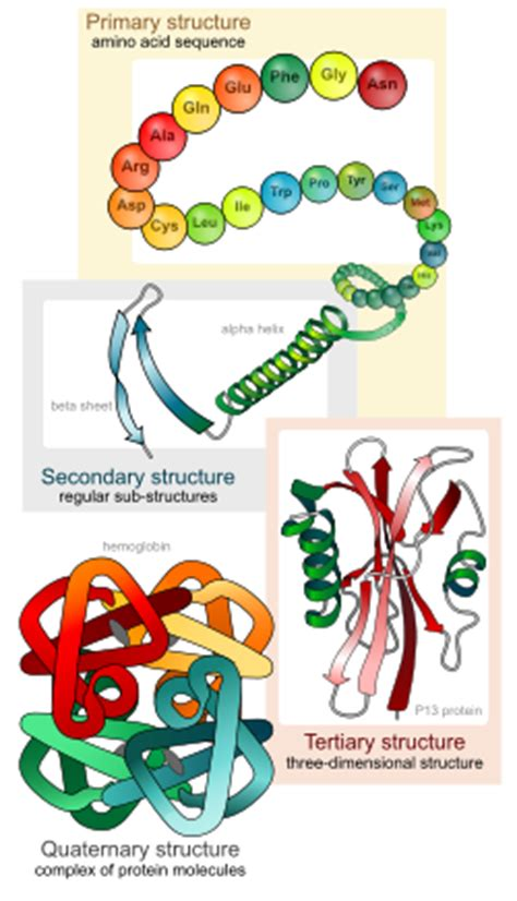 a protein is being assembled when biological molecules biology 1510 biological principles