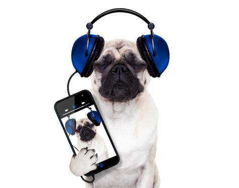pug white background pug phone headphones smartphone white background humor hd wallpaper