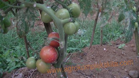Pupuk Hayati Cair Sumber Subur sinergi budidaya tomat dan cabai di ciamis dengan mmc