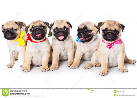 price of pug five puppies of pug stock photo image of isolated loyal 15291514
