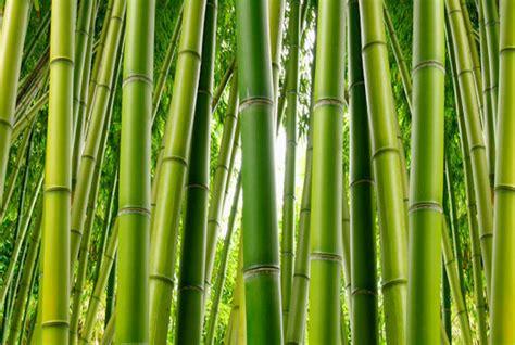 Kasa Hijau Bamboo Brand by Bamboo Wall Mural C866