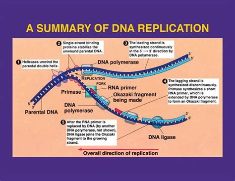 dna replication flowchart overview of dna replication