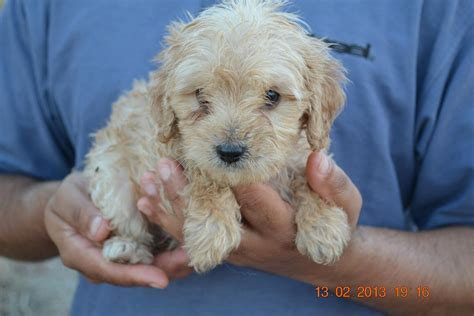 cavoodle puppies cavoodle puppies for sale 24th february 2013
