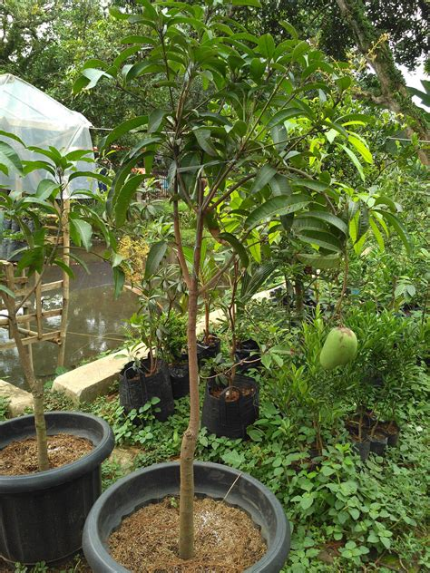 Bibit Kelengkeng Jakarta jual bibit buah unggul banyak dicari di pasar minggu