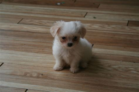 yorkie or maltese maltese terrier quotes