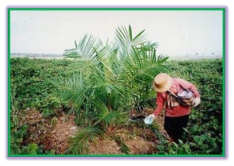 Pupuk Majemuk Kelapa Sawit membangun kebun kelapa sawit pemupukan