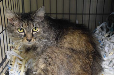 adoption in pa adopt erma a brown tabby maine coon coat cat in pottsville pa 15514061