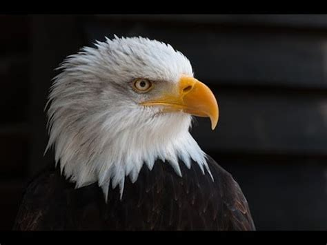 acrylic painting eagle how to paint a realistic bald eagle with acrylic paint for