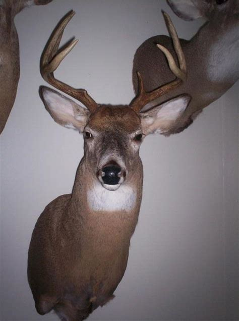 types of bucks types of buck mounts pictures to pin on pinsdaddy