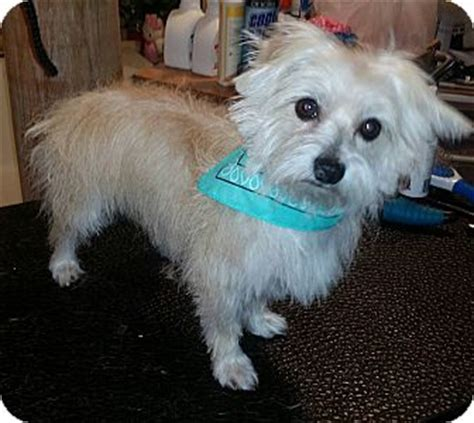 yorkie rescue fort worth kit adopted fort worth tx westie west highland white terrier yorkie