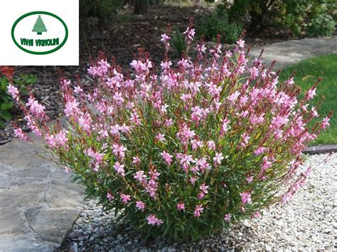 catalogo fiori e piante catalogo gauranana rosa vivai vignolini vivaio