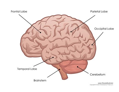 skull diagram labeled human brain labeled diagram goji actives diet