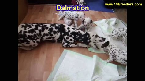 dalmatian puppies craigslist dalmatian puppies dogs for sale in louisville kentucky ky 19breeders bowling