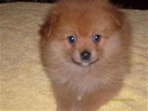 pomeranian puppies for sale sc pomeranian puppies for sale