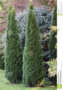 cypress ornamental trees stock photography image 23872842