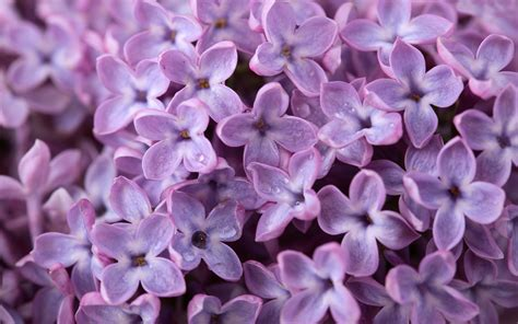 purple lilac lilac wallpapers desktop wallpapers