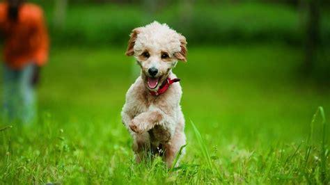 wann sind hunde läufig labradoodle quot designer hunde sind ein netter marketing