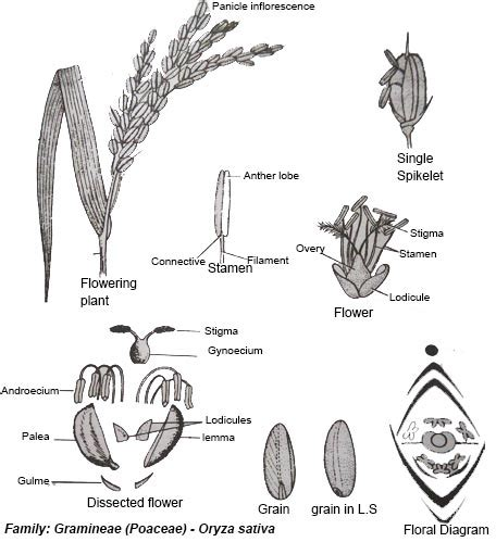 whole grain kernel diagram wheat floral diagram wiring library