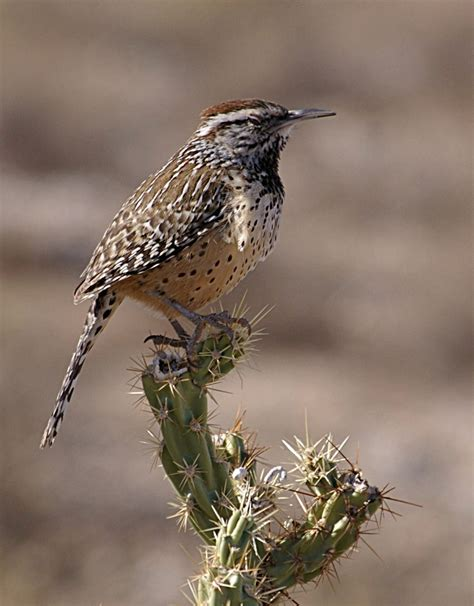 list of birds of arizona wikipedia