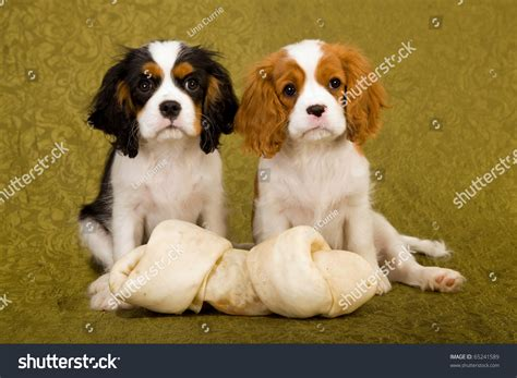 ckc puppies ckc puppies large bone on stock photo 65241589