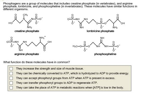 creatine phosphate function solved phosphagens are a of molecules that includes