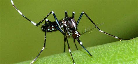 eliminare zanzare giardino per eliminare le zanzare occorre eliminare le loro larve